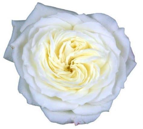 Exceptionnel White Garden Rose