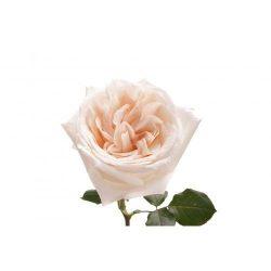 White Garden Rose