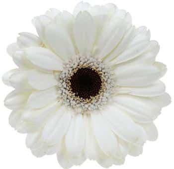 White gerbera daisy flower with black center j r roses wholesale white gerbera daisy dark center home white flowers mightylinksfo