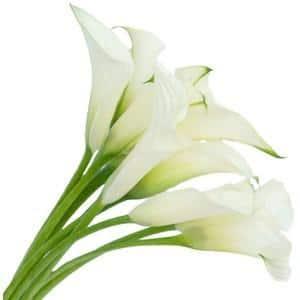 white calla lily