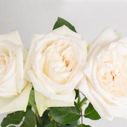 White-Ohara-roses