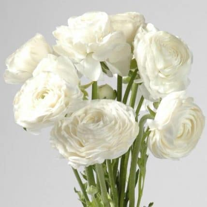 White ranunculus wedding flowers 100 stems bulk flowers j r roses white ranunculus home ranunculus flower mightylinksfo