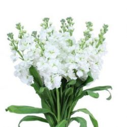White-Stock-Flowers