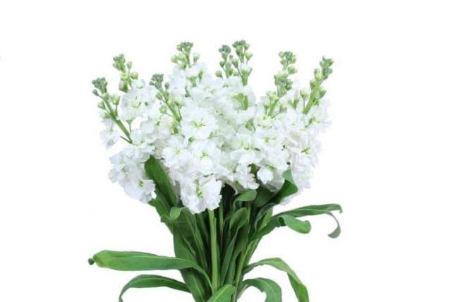 White stock flower 10 bunch bulk flowers bulk flowers j r roses white stock flowers mightylinksfo