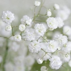 excellence-babys-breath