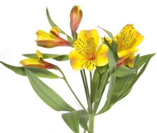 yellow-alstroemeria