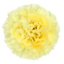 Yellow-Carnation-flower