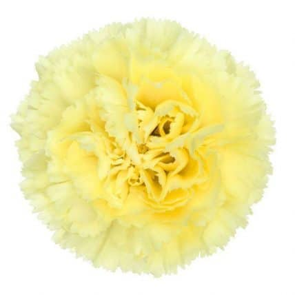 Yellow Carnation flower