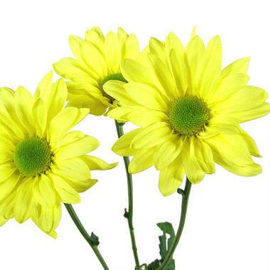 Yellow Daisy flower - Yellow Daisy Flower
