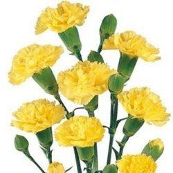 Yellow Mini Carnations