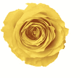 Yellow Preserved Roses