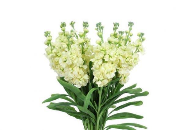 Yellow Stock Wholesale Wedding Flowers 10 Bunch Bulk Flowers Jr
