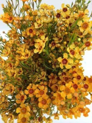 Yellow-Wax-Flower