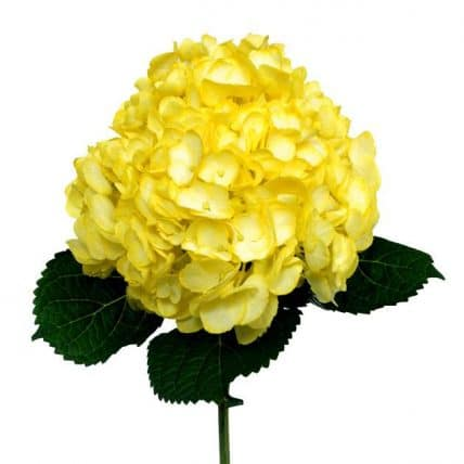 Yellow Hydrangea Flower Wholesale Flowers In Bulk Jr Roses