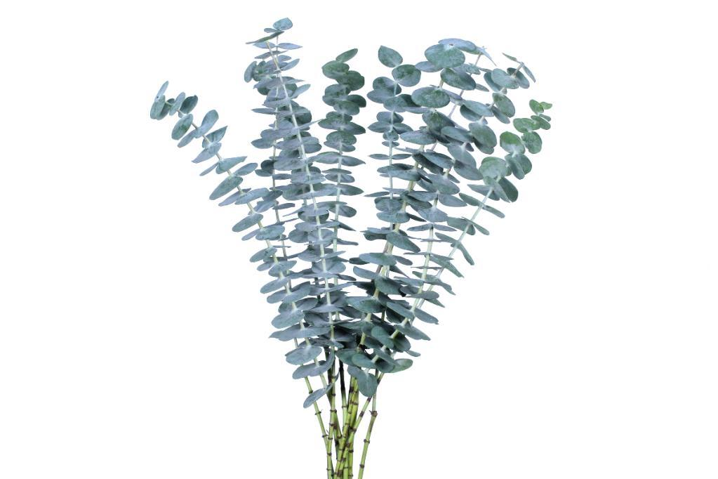 baby - Baby Blue Eucalyptus Bulk 100 stems