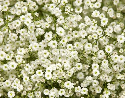 baby's breath million star