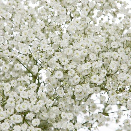 babys-breath-flower