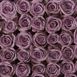lavender roses