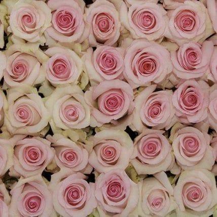 bulk light pink roses - 100 Light Pink Roses