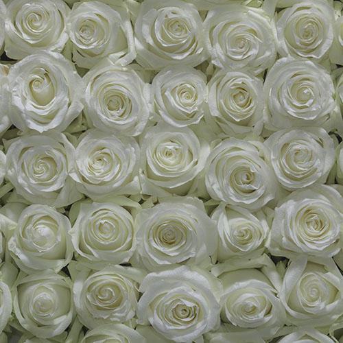 bulk white roses - 100 White Roses Bulk