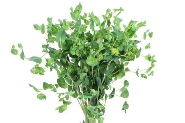 bupleurum green