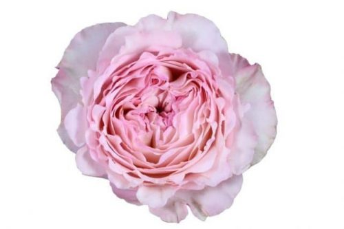 cream light pink garden rose