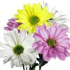 assorted color daisy flower