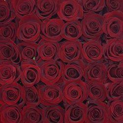 dark-red-roses