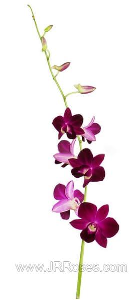 dark purple dendrobium orchid