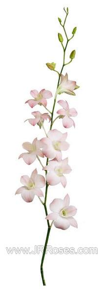peach dendrobium orchid