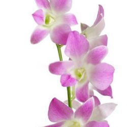 Lavender dendrobium orchid