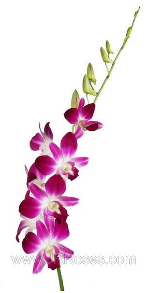 purple dendrobium sonia