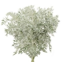 dusty-miller-lace