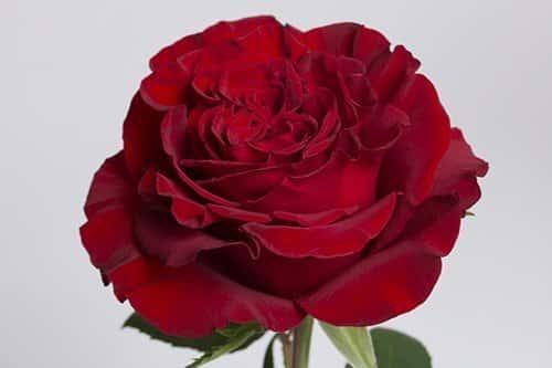 garden-rose-Hearts