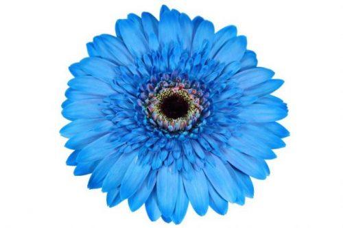 gerbera daisy blue pitufu