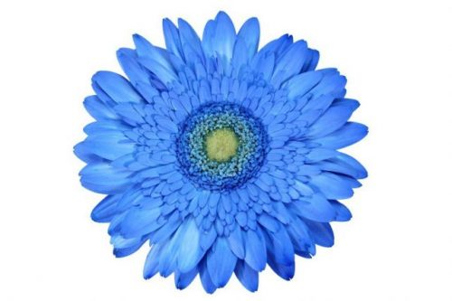 gerbera daisy blue sky