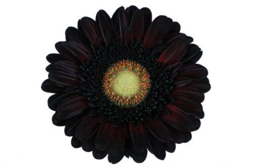 gerbera daisy brownie