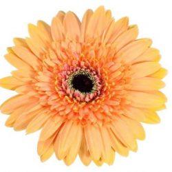 gerbera daisy gold