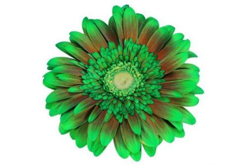 gerbera daisy green firework