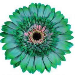 gerbera daisy green grinch