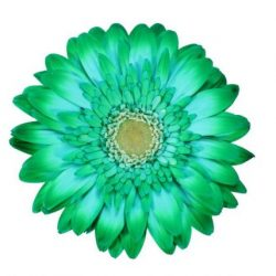 gerbera daisy green xmas