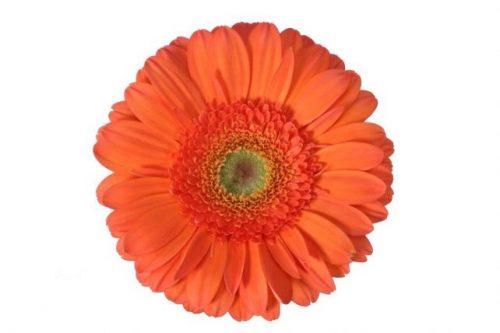 gerbera daisy orange pamelo
