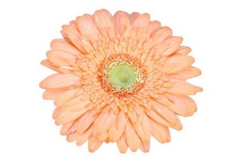 gerbera daisy peach tang
