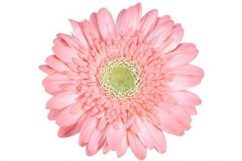 gerbera daisy pink pichi