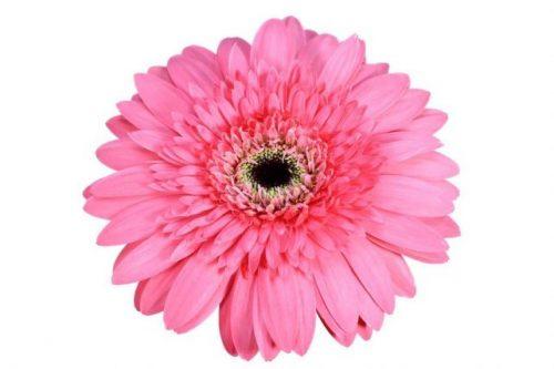 gerbera daisy pink sashimi