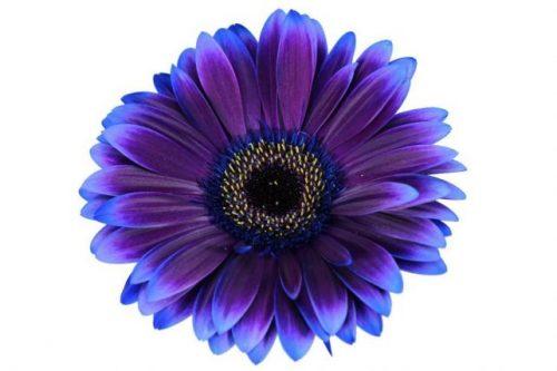 gerbera daisy purple eclipse