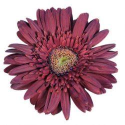 gerbera daisy purpura