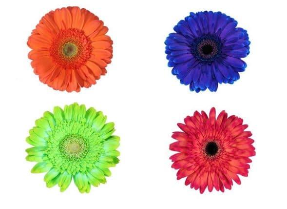 gerbera daisy tinted dyed