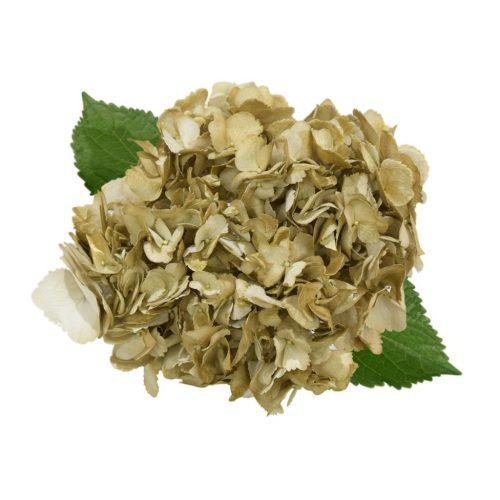 gold-hydrangea