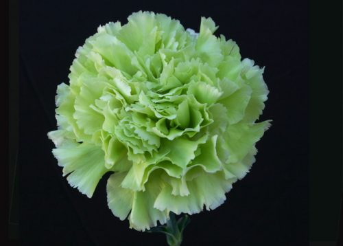 green-carnation-flower